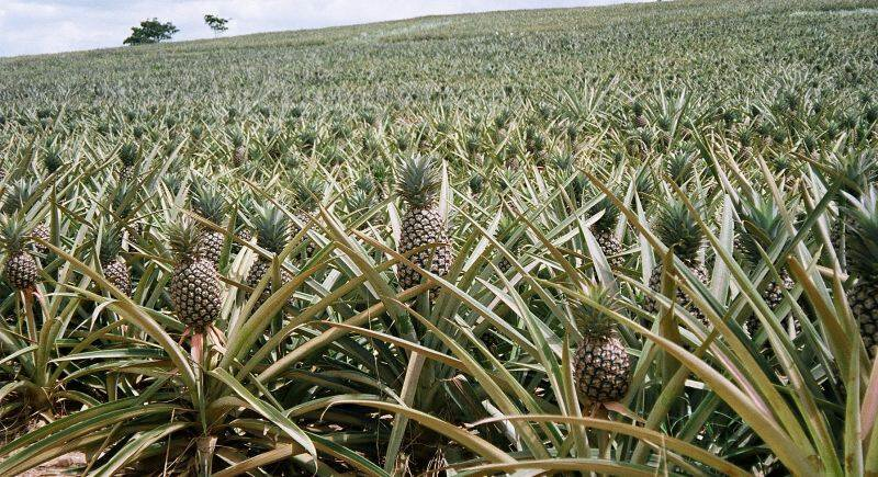 How to Grow Pineapple Plant / Pineapple Suckers (Hybrid) for Sale