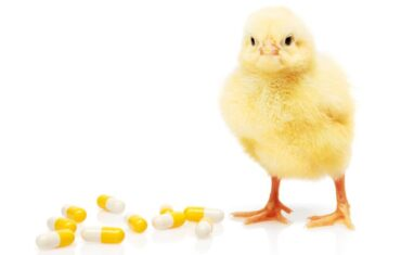 Antibiotics usage in chicken