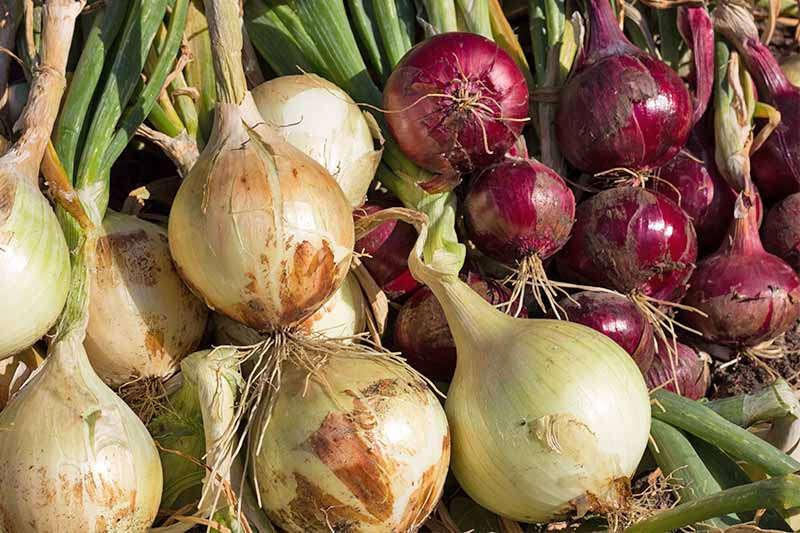 Onion Farming practical guide