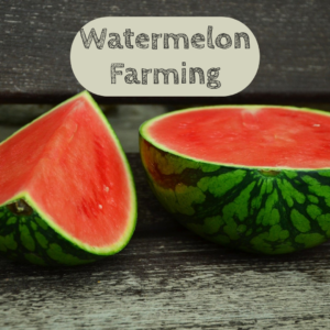 watermelon farming